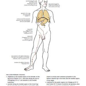 Liver meridian